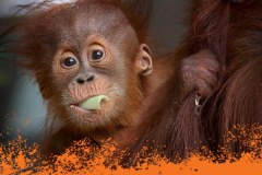 Turn Melbourne orange for Orangutans