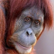 Turn Melbourne orange for Orangutans