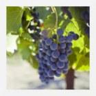 Vineyard / Winery